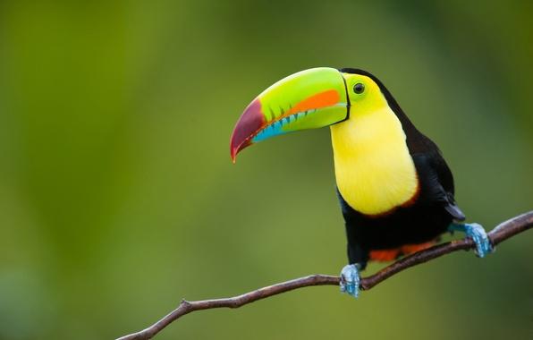 Картинка природа, тропики, фон, птица, джунгли, тукан, animals, nature, боке, восточная, провинция, Индонезии, Ява, travel, wallpaper., ...