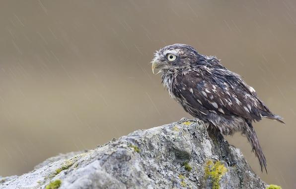 Картинка скала, дождь, сова, птица, камень, мох, мокрая, птенец