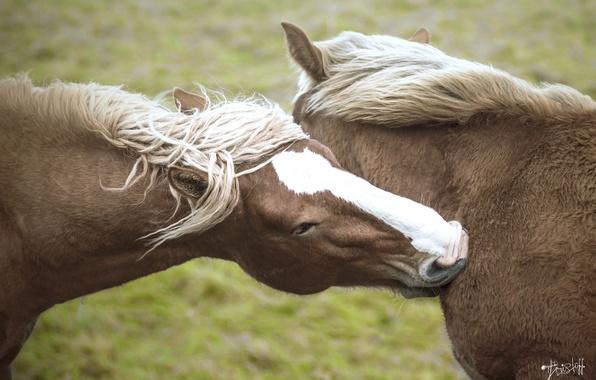Картинка морда, кони, лошади, дружба, пара, грива