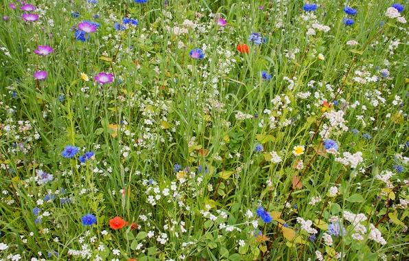 Картинка поле, лето, трава, цветы, ковер, лепестки, сад, луг