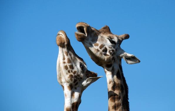 Картинка жирафы, дуэт, песня
