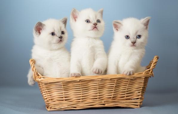 Картинка корзина, котята, малыши, трио, троица