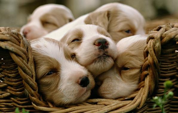 Картинка собаки, щенки, малыши