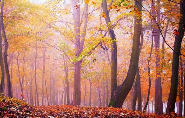 Картинка осень, лес, листья, деревья, туман