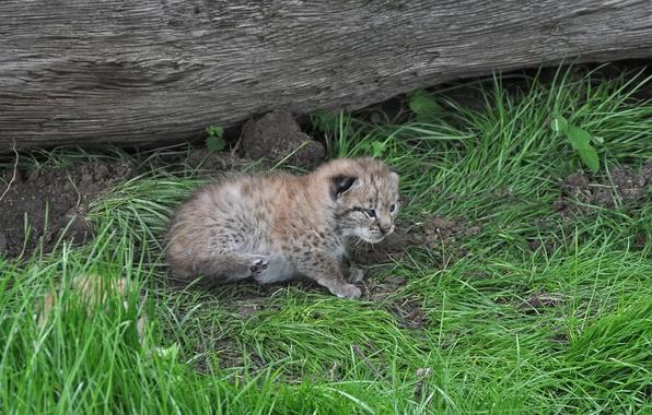 Картинка кошка, трава, котенок, бревно, рысь