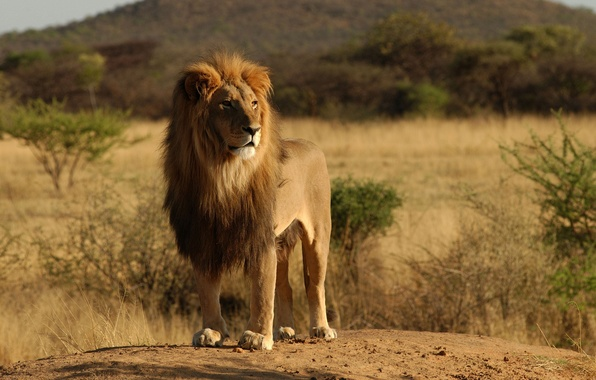 Картинка животные, деревья, природа, дерево, лев, дикие кошки, африка, львы
