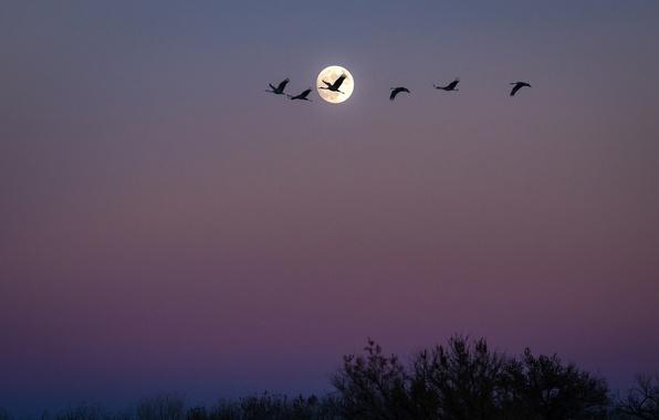 Картинка птицы, ночь, стая, Луна, США, Нью-Мексико, Сан-Антонио