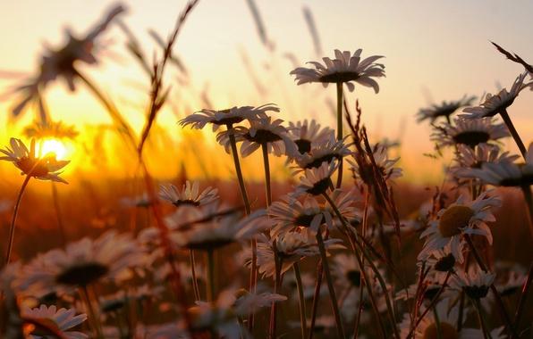 Картинка трава, закат, цветы, природа, ромашки