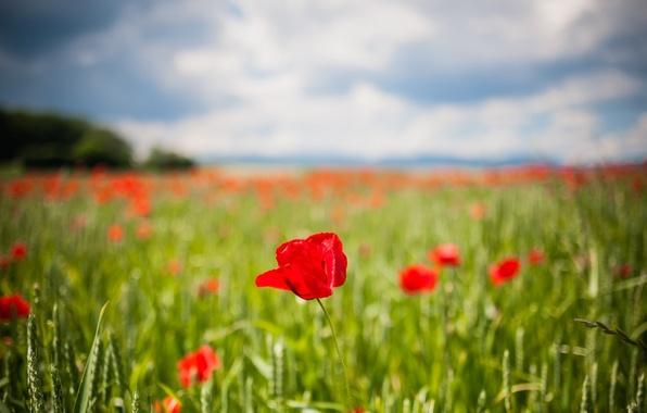 Картинка зелень, поле, цветы, красный, фон, widescreen, обои, тюльпан, размытие, тюльпаны, wallpaper, колосья, цветочки, flower, широкоформатные, …
