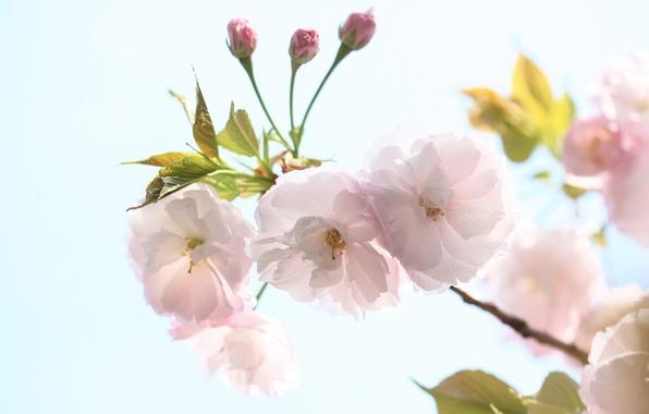 Картинка небо, цветы, вишня, ветка, весна, лепестки, сакура, цветение
