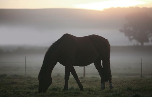 Картинка утро, животные, пейзажи, туман, пастбище, лошади, кони, поле, трава