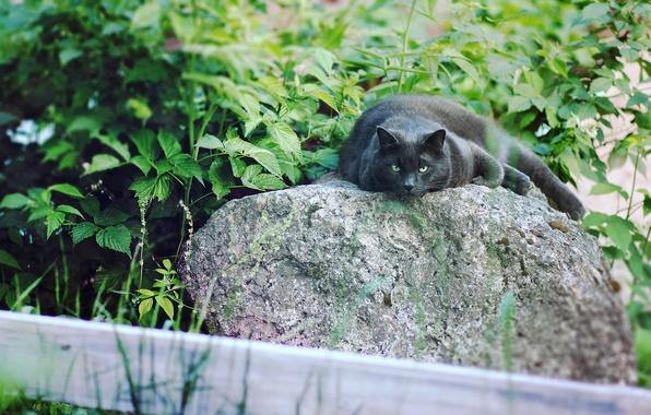 Картинка кошка, глаза, природа, черный, коты, пантера, Кот, cat, мяу, ленивый, кот на природе