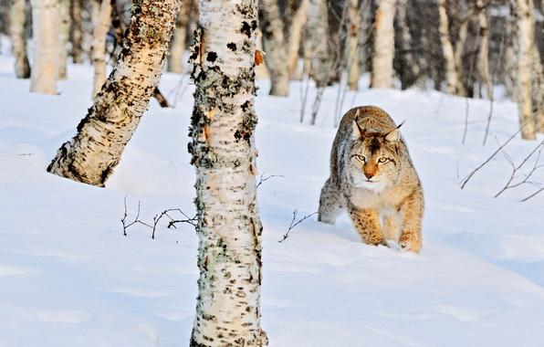Картинка зима, лес, кошка, снег, природа, стволы, сугробы, березы, рысь, роща, дикая