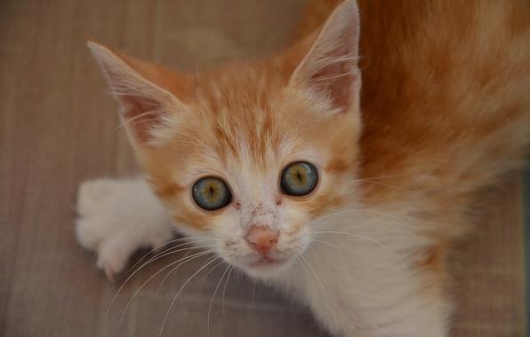 Картинка взгляд, рыжий, мордочка, котёнок, глазища, рыжий котёнок
