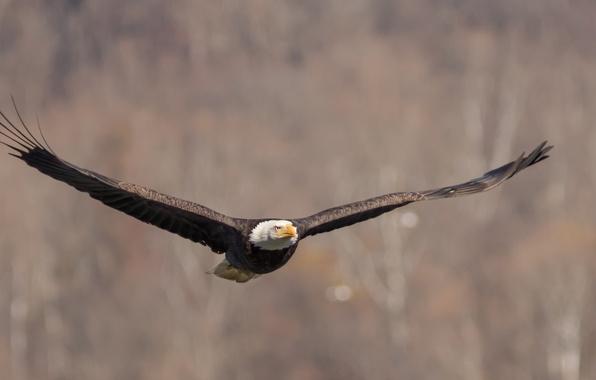 Картинка птица, крылья, полёт, взмах, Белоголовый Орлан, Bald Eagle