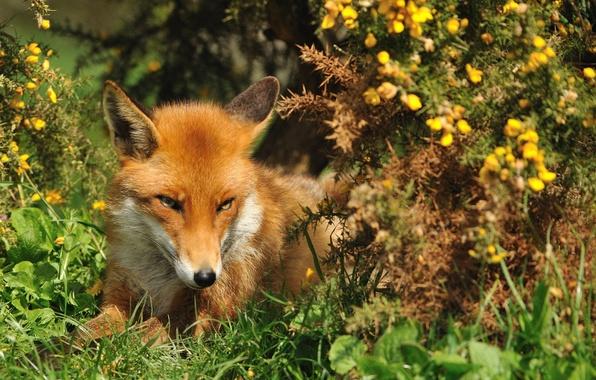 Картинка лето, трава, взгляд, морда, лиса, рыжая, лисица