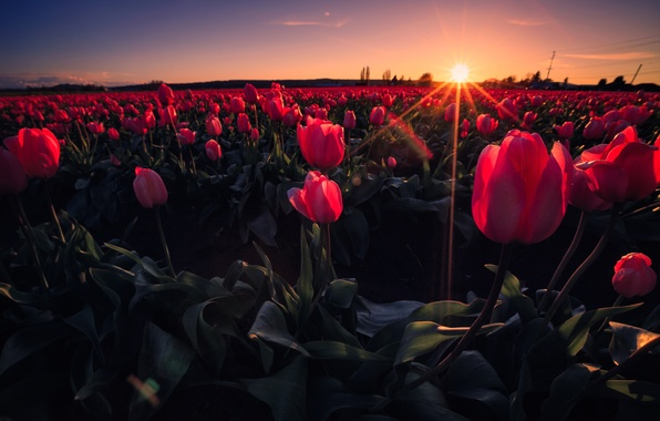 Картинка поле, небо, лучи, закат, цветы, луг, тюльпаны
