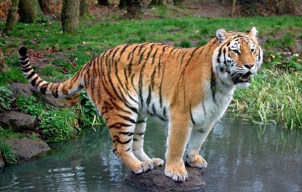 Тигр хищник камень ручей обои фото