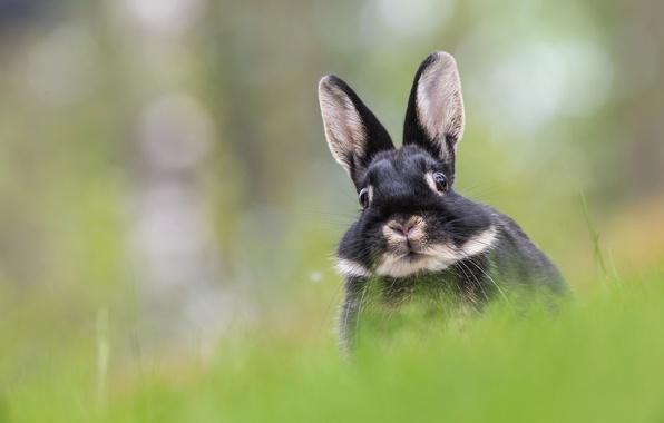 Картинка заяц, мордочка, уши