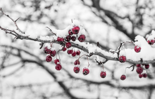 Картинка холод, лед, зима, макро, снег, ягоды, ветка