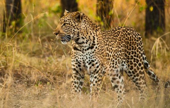 Картинка трава, хищник, леопард, дикая кошка