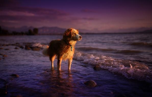 Картинка море, лето, взгляд, закат, природа, друг, собака