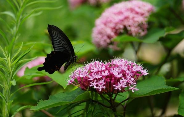 Картинка зелень, листья, цветы, розовый, бабочка, соцветия