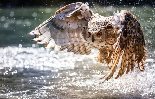 Картинка вода, сова, крылья, взлёт, боке
