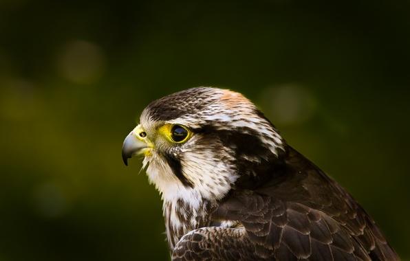 Картинка взгляд, зеленый, блики, фон, птица, профиль, ястреб, Hawk