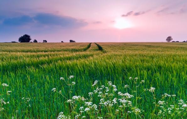 Картинка поле, лето, небо, трава, облака, цветы, природа, вечер