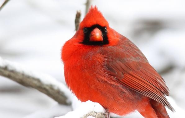 Картинка зима, снег, ветки, дерево, птица, красная, Northern, Cardinal, Кардинал