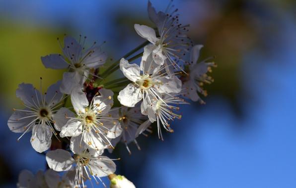 Картинка цветы, ветка, весна, лепестки, сад