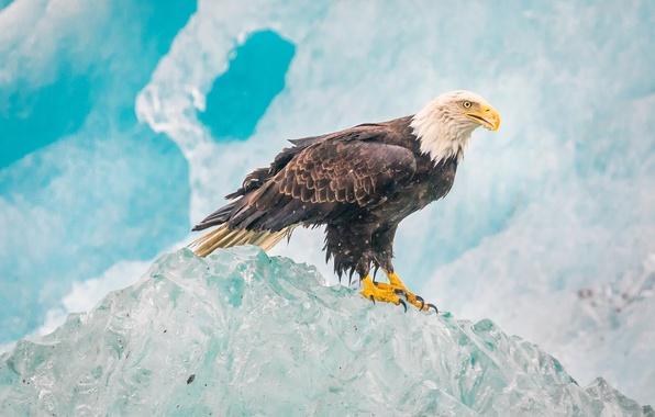 Картинка природа, птица, лёд, орёл, белоголовый орлан, Glacier Bay National Park