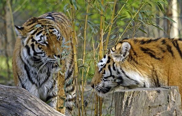 Картинка кошки, тигр, куст, пень, бамбук, пара, профиль, амурский