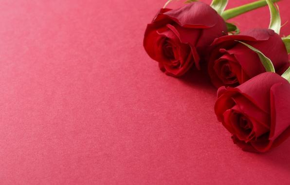 Картинка розы, три, бутоны, бордовые