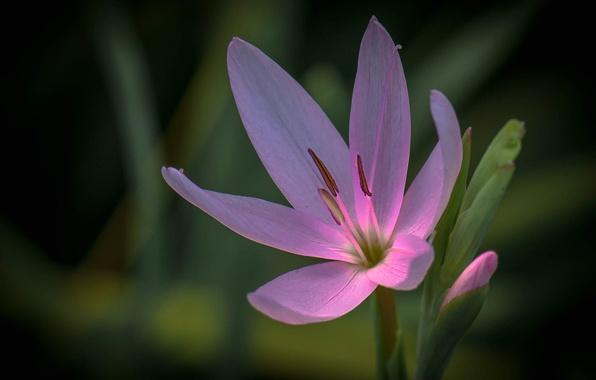 Картинка цветок, природа, краски, тюльпан, лепестки, тычинки