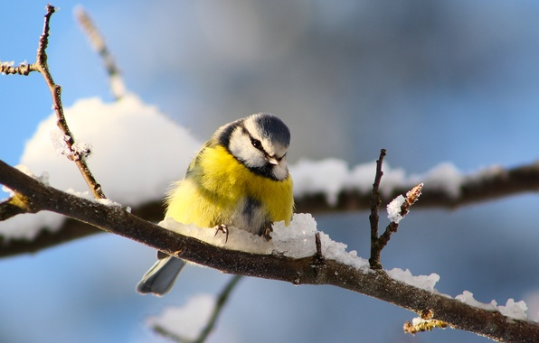 Картинка зима, снег, ветки, птица, синица
