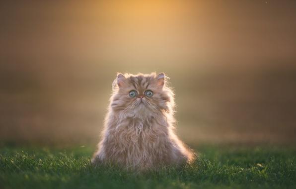 Картинка трава, взгляд, фон, пушистый, котёнок
