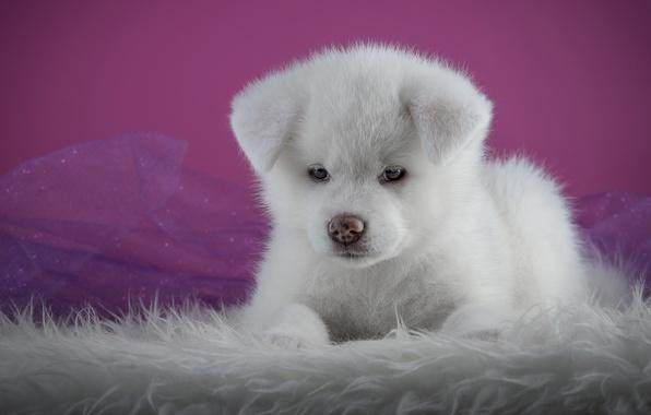 Картинка белый, фон, розовый, портрет, собака, щенок, лежит, мех, мордашка, фотосессия, лапочка, акита-ину, акита, органза