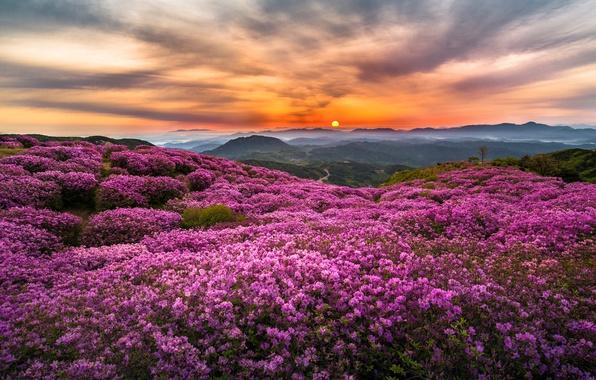 Картинка солнце, цветы, горы, туман, холмы, утро, Корея