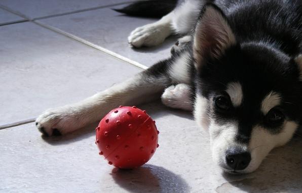 Собака пес щенок хаски взгляд мяч