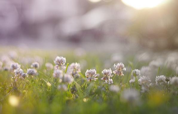 Картинка трава, цветы, природа, клевер, кашка