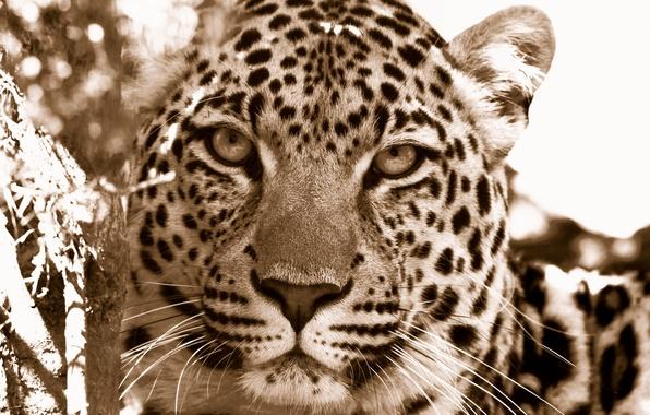 Фото обои морда, дикие кошки, морды хищники, леопарды