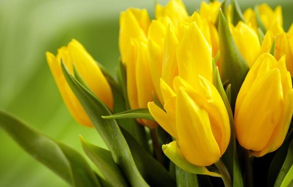 Картинка листья, цветы, зеленый, фон, желтые, тюльпаны, бутоны, весенние