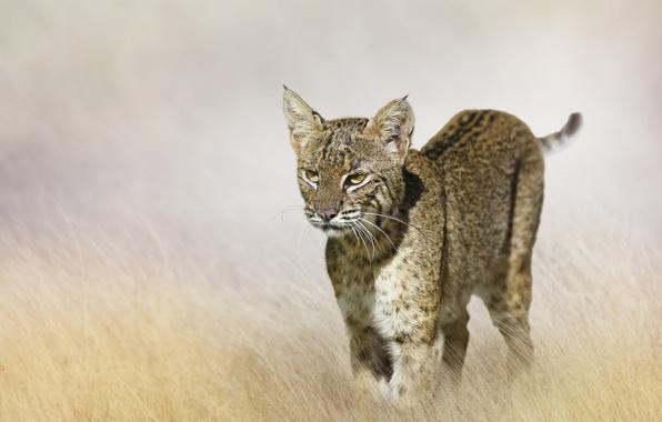 Фото обои размытость, рысь, боке, хищник, поле, трава