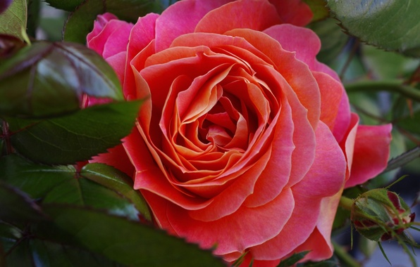 Картинка листья, макро, роза, бутон