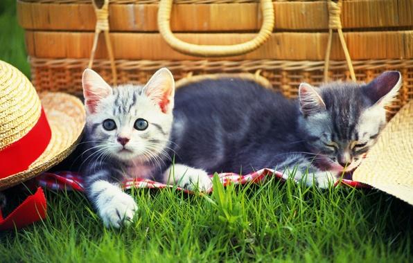 Картинка трава, кошки, котенок, шапка, grass, пикник, hat, kitten, cats, picnic