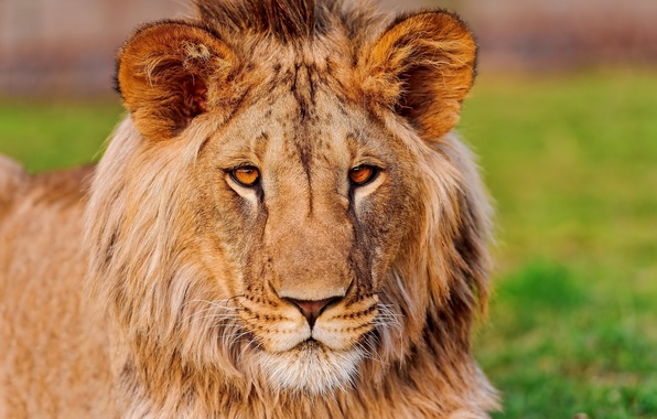 Картинка усы, взгляд, морда, Лев, уши, lion, красавец, азиатский, panthera leo, fufik, фуфик
