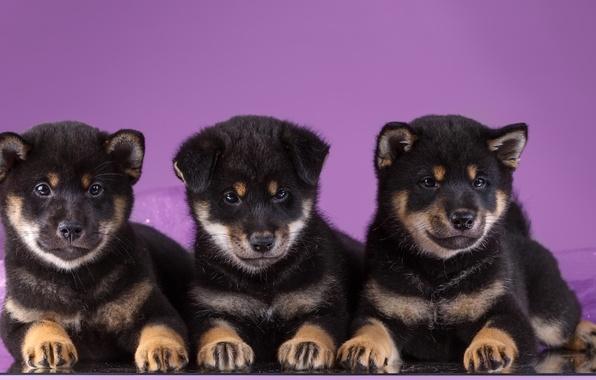 Картинка щенки, трио, акита