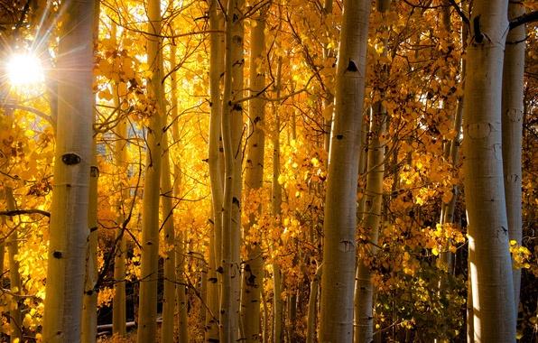 Картинка осень, лес, листья, лучи, свет, Колорадо, ствол, США, осина, Аспен